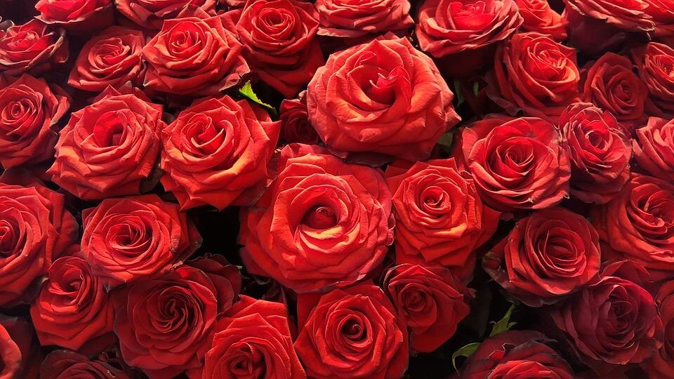 蘭開斯特紅玫瑰
