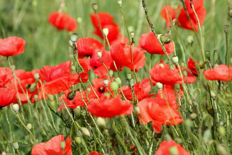 紅色罌粟花
