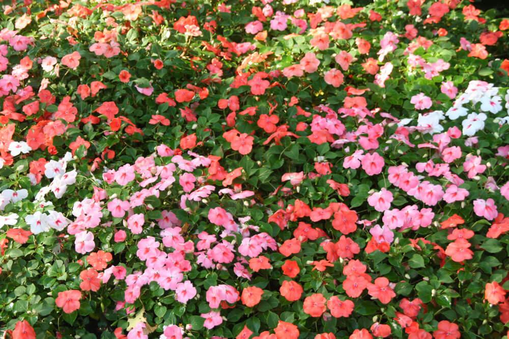 紅色鳳仙花