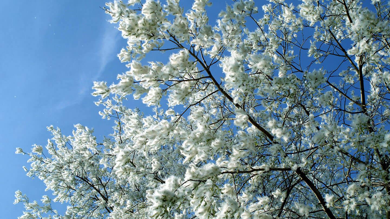 黑色白楊木