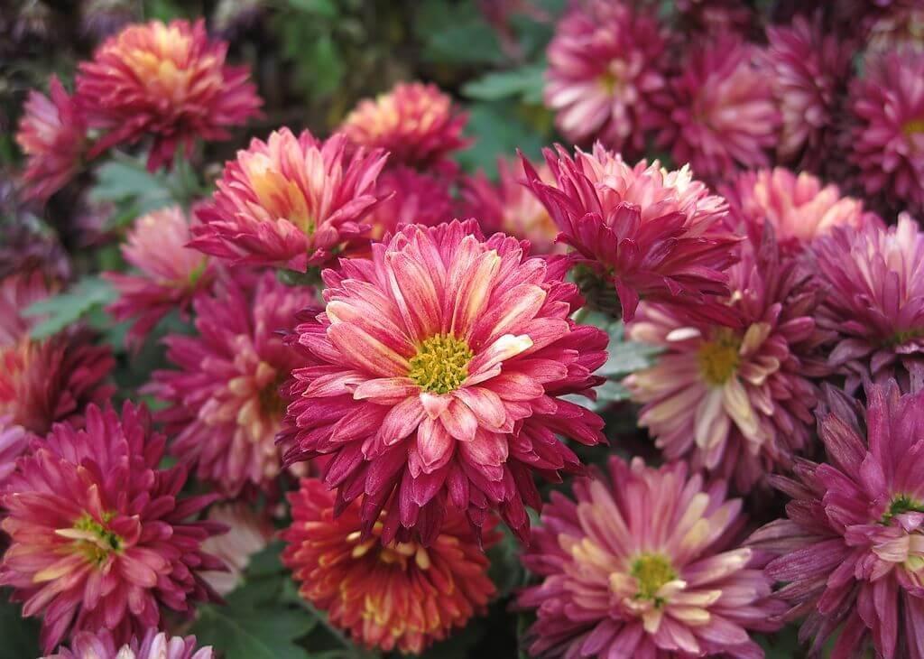 紫紅色菊花