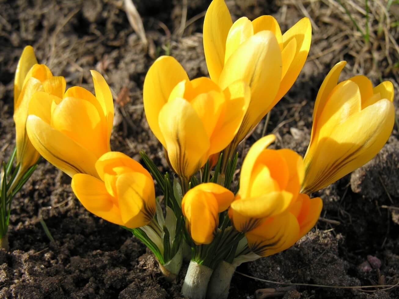 黃色藏紅花
