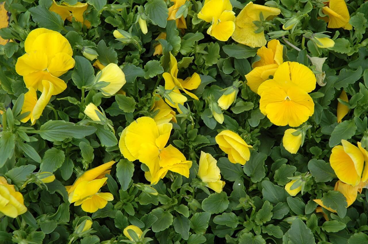 黃色紫羅蘭