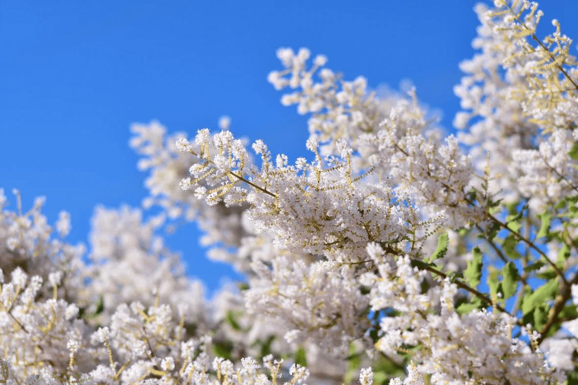 沒藥樹之花