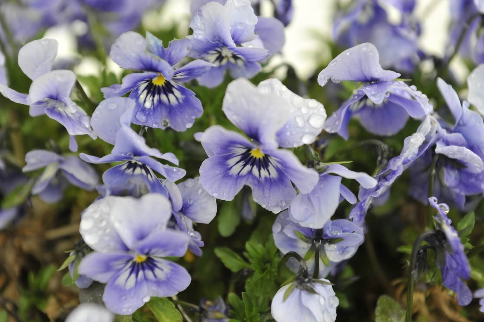 紫色紫羅蘭
