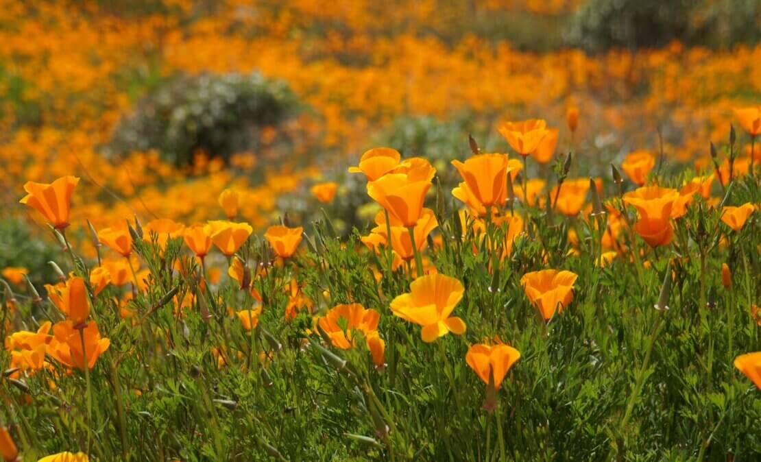 加州罌粟花