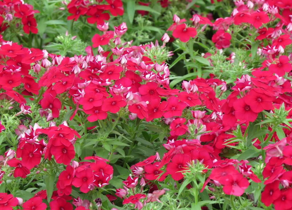 紅色櫻草花