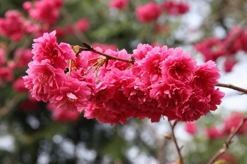 重瓣山櫻花