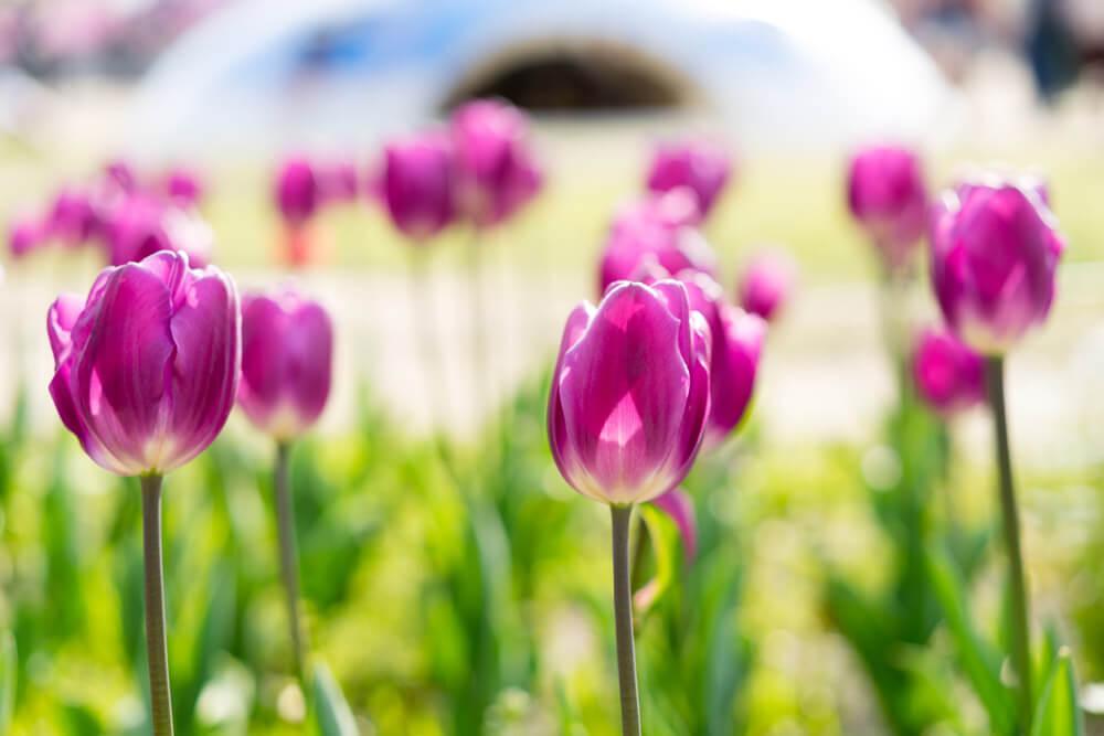 紫色鬱金香